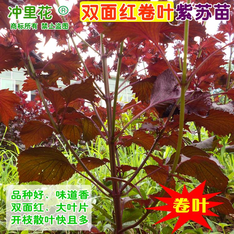 紫苏种子williamhillapp下载